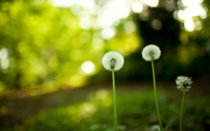 2012-mother-s-day-beautiful-flower-dandelion-macro_2560x1600_97191